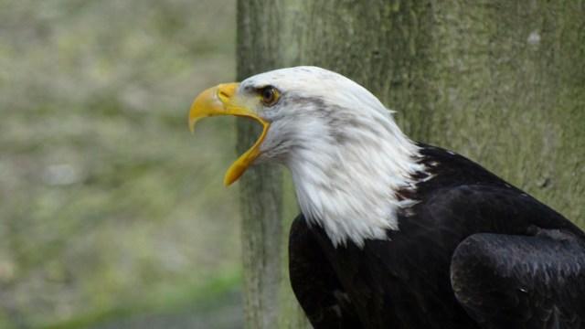 El inesperado sonido del águila calva