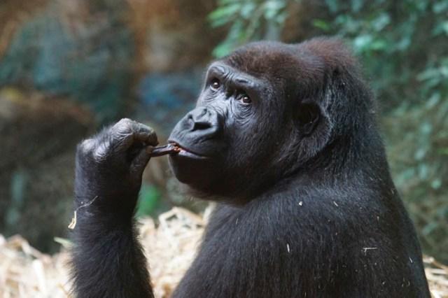 Los culebrones de los gorilas