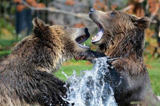 Oso grizzly vs Oso pardo