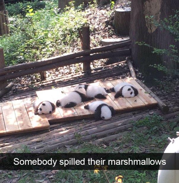 zvierata, vtipne, momenty, zvierat, pandy, marshmallow, snapchat