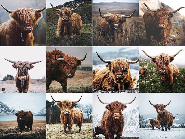 Primer plano de una vaca peluda