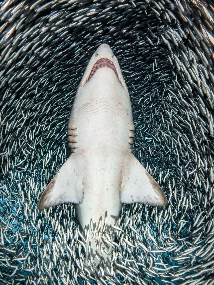 """Portrait Category Winner: """"A Sand Tiger Shark Surrounded By Tiny Bait Fish"""" By Tanya Houppermans, USA"""