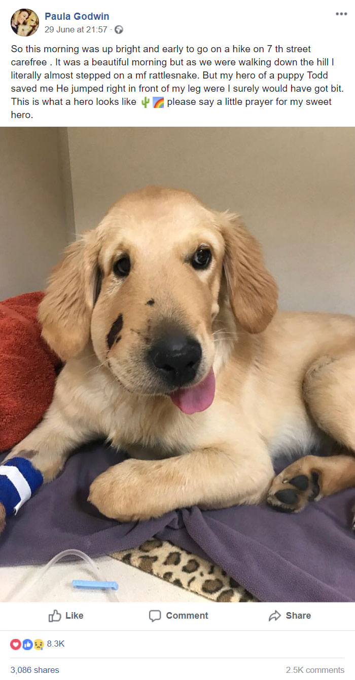 Este es Todd, Todd es el mejor Pupper. Todd vio que su dueño casi fue mordido por una serpiente e intervino. 27/10 Daría todas las mascotas. Todd está haciendo una recuperación rápida