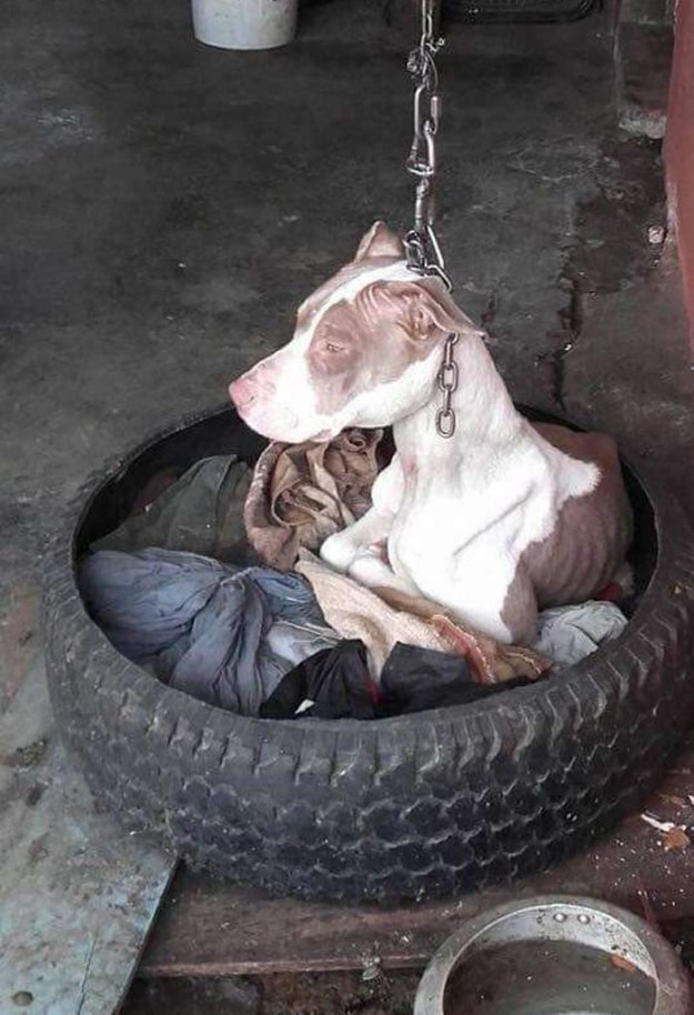 Brutally-Kept-Short-Chain-Dog-Rescued-Costa-Rica-5b7533ae54f90__700 Dog Kept On Such A Short Chain She Could Never Rest Her Head Is Finally Rescued And The After Pics Will Bring You Joy Design Random