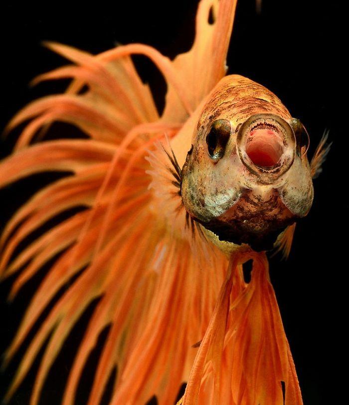 Poses elegantes y fantásticos de peces de acuario capturados por un fotógrafo tailandés