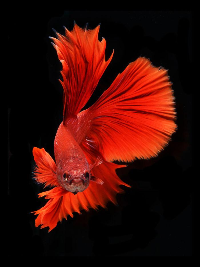 Las poses elegantes y fantásticos de peces de acuario capturados por un fotógrafo tailandés