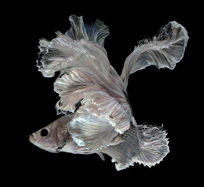 El elegante y fanático Poses de acuario de peces de acuario capturados por un fotógrafo tailandés