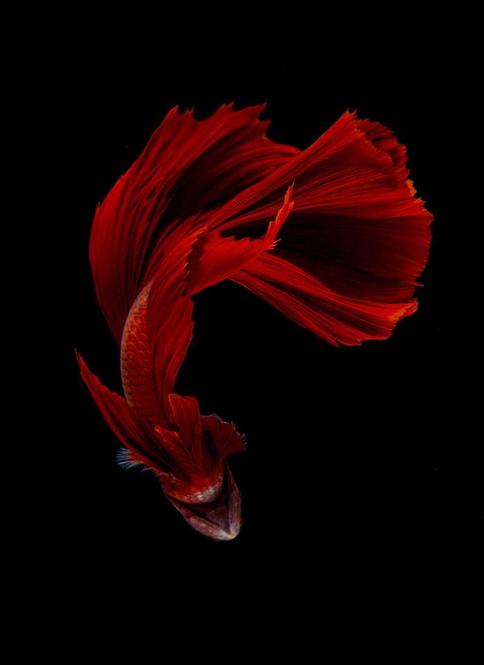 Las poses elegantes y fantásticas de peces de acuario capturados por un fotógrafo tailandés