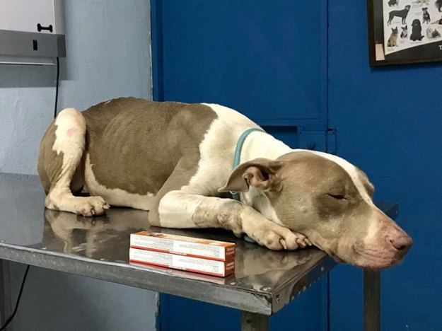 brutally-kept-short-chain-dog-rescued-costa-rica3-5b75228bb342d__700 Dog Kept On Such A Short Chain She Could Never Rest Her Head Is Finally Rescued And The After Pics Will Bring You Joy Design Random