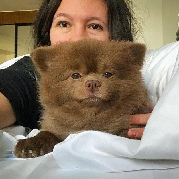 "dog-cute-bertram-the-pomeranian-bertiebertthepom-4 Breeder Abandoned 5-Month-Old Pomeranian Because He Was ""Too Big"", They Probably Regret It Now Design Random"