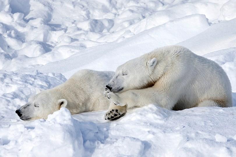 Não há ursos polares na Antártida, apenas no Ártico