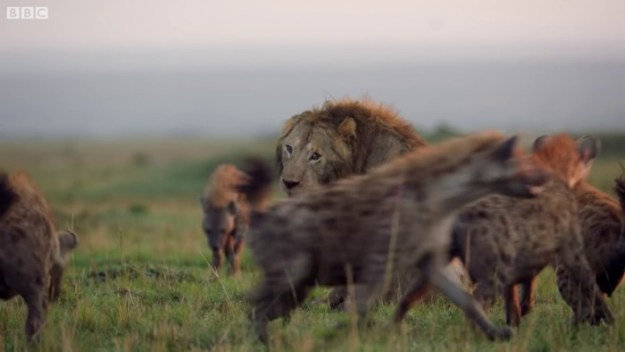 16 Lion Is Losing Fight Against 20 Hyenas, Bro Hears His Cries And Rushes To Save Him Design Random