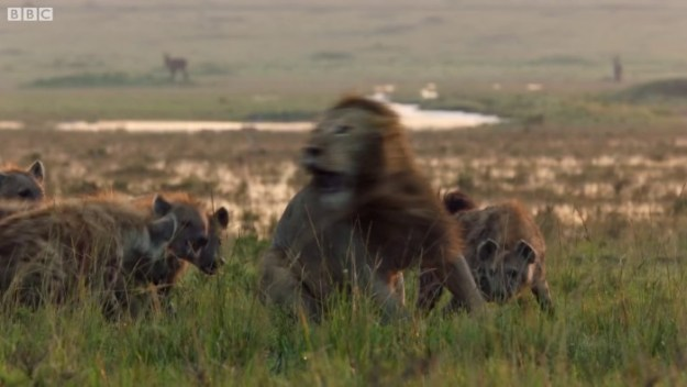 24 Lion Is Losing Fight Against 20 Hyenas, Bro Hears His Cries And Rushes To Save Him Design Random