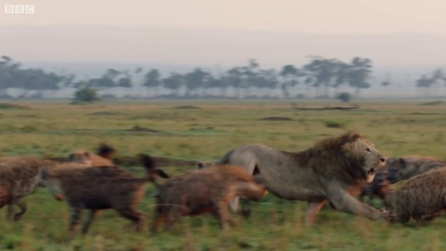 37 Lion Is Losing Fight Against 20 Hyenas, Bro Hears His Cries And Rushes To Save Him Design Random