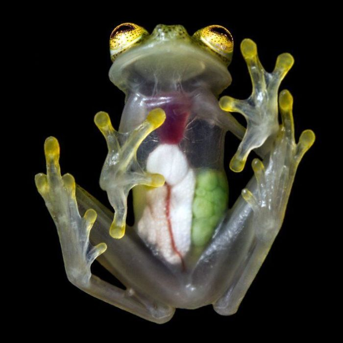 You Can See Every Organ In The Glass Frog