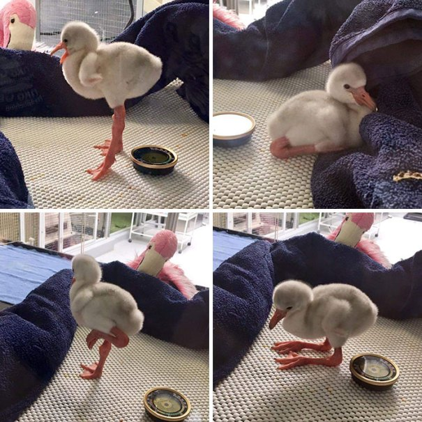 This Is What A Baby Flamingo Looks Like