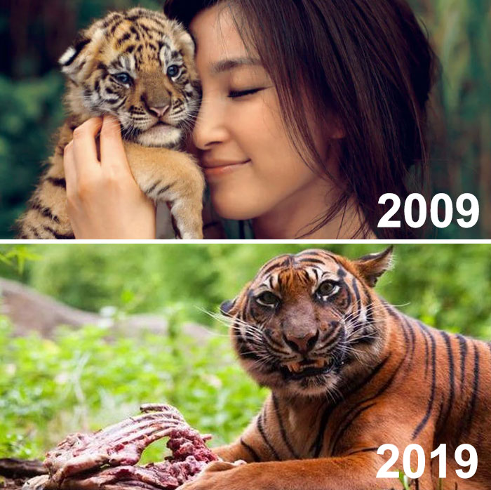 This Ad Was Meant To Depict How Much The Tiger Had Grown In 10 Years. Instead, It Looks Like....