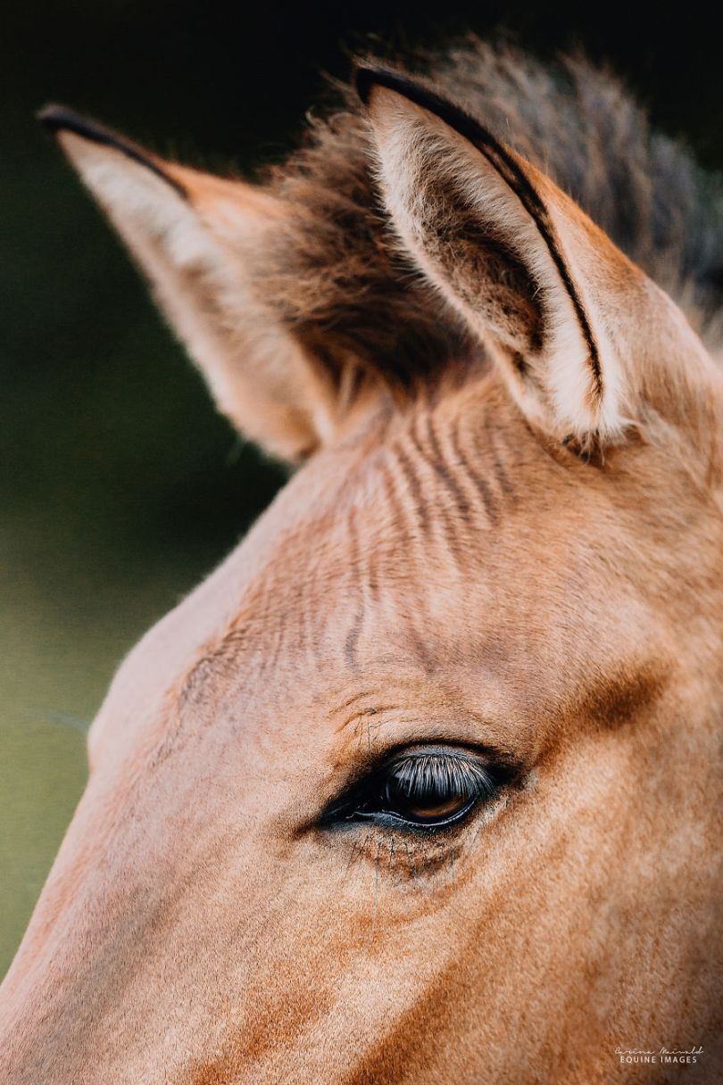 carinamaiwald zorse 3435 2 5d0b35af98351  880 - Conheça um híbrido de Zebra com Égua