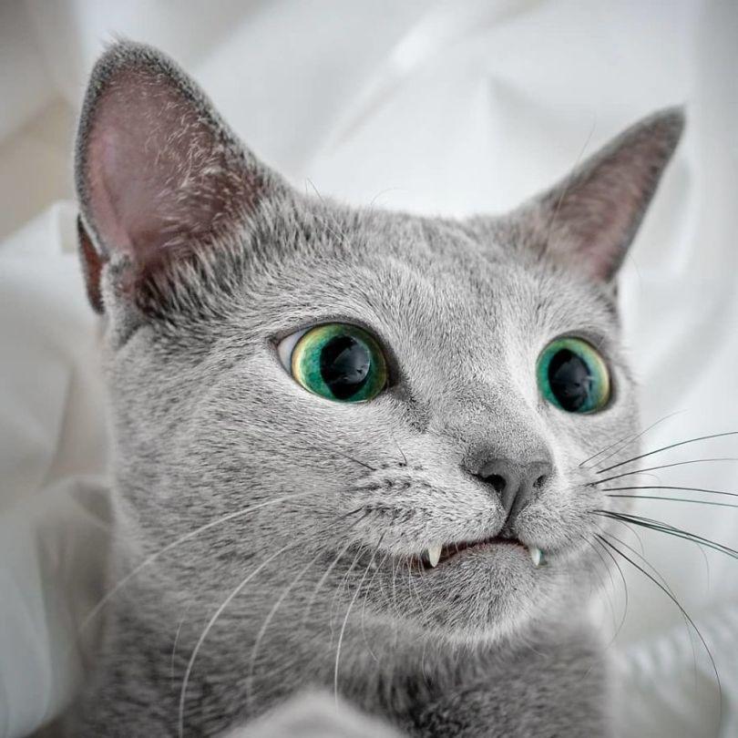 Russian blue cats share with over 122000 followers on instagram their mesmerizing green eyes 5d3823efc6365  880 - Olhar felino: Gatos lindos têm olhos hipnotizantes