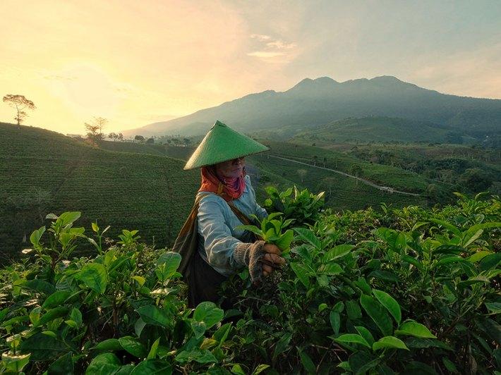 Tea Picker Lady