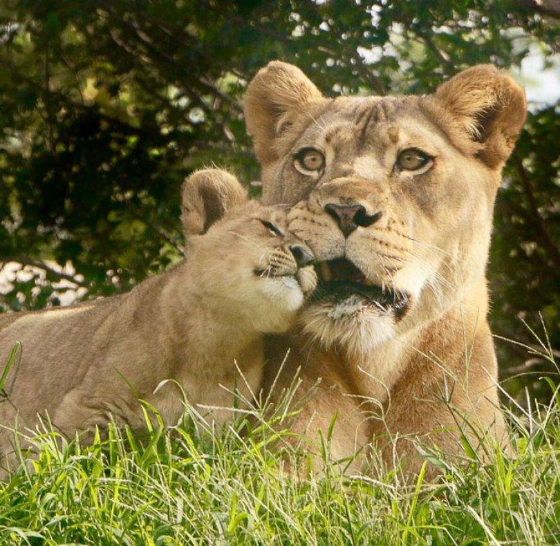 lion king live action baby simba bahati dallas zoo 10 12 5d38002e2a865  700 - Conheça a Leoa de verdade que deu origem ao pequeno Simba