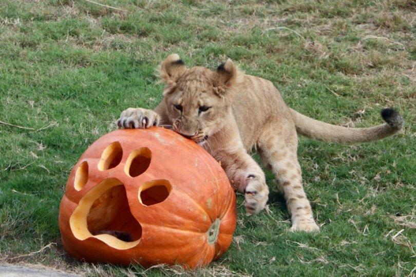 lion king live action baby simba bahati dallas zoo 10 13 5d380030079dd  700 - Conheça a Leoa de verdade que deu origem ao pequeno Simba