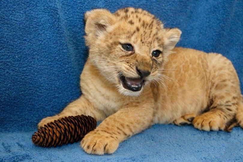 lion king live action baby simba bahati dallas zoo 10 15 5d3800334fdb6  700 - Conheça a Leoa de verdade que deu origem ao pequeno Simba