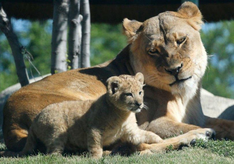 lion king live action baby simba bahati dallas zoo 10 5 - Conheça a Leoa de verdade que deu origem ao pequeno Simba
