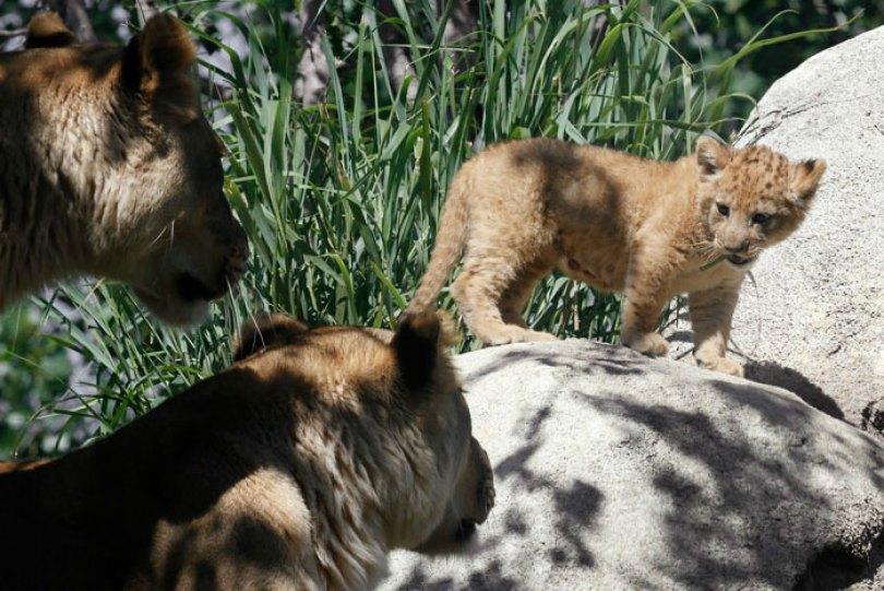 lion king live action baby simba bahati dallas zoo 10 6 5d380024c2780  700 - Conheça a Leoa de verdade que deu origem ao pequeno Simba