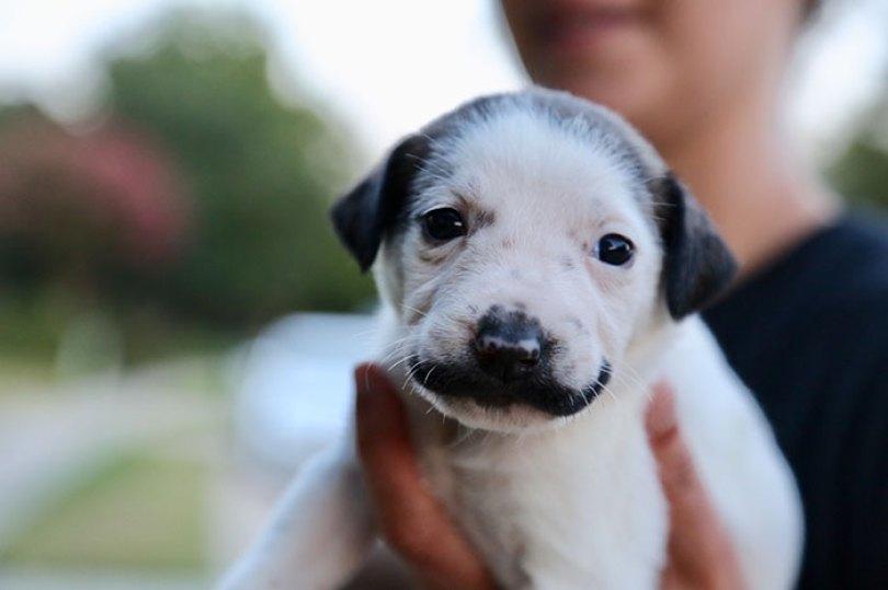 handlebar mustache puppy salvador dolly heartsandbonesrescue 6 5d441d7808a16  700 - Salvador Dolly o cachorro com bigode que conquistou a Internet