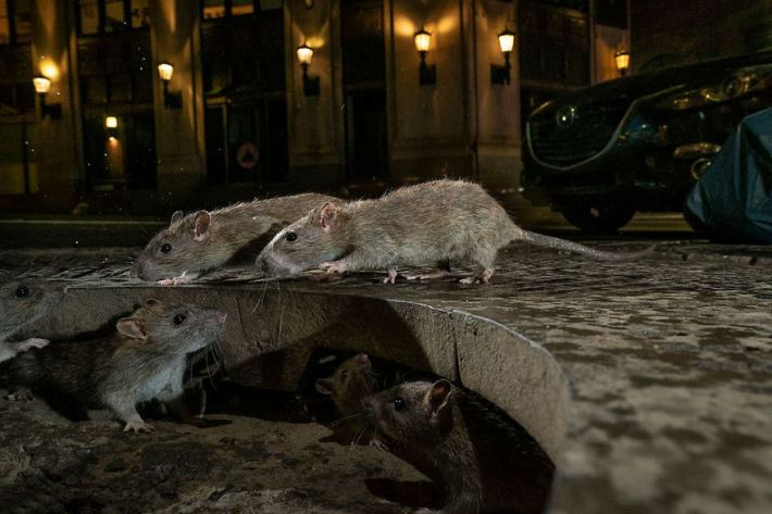 """The Rat Pack"" By Charlie Hamilton James, UK, Urban Wildlife, Winner 2019"