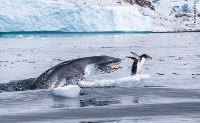 """If Penguins Could Fly"" By Eduardo Del Álamo, Spain, Behaviour: Mammals, Highly Commended 2019"