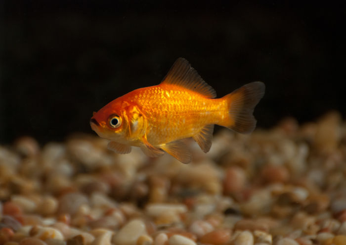 Goldfish Don't Have Short Memory Spans