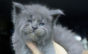This Whole Litter Of 5 Maine Coon Kittens Was Born With Cute But Grumpy Faces