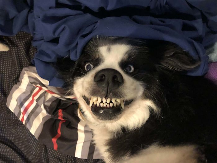 This Online Community Shares The Silliest Dog Photos Where Their Teeth Are Visible In A Funny Way (30 Pics) 18