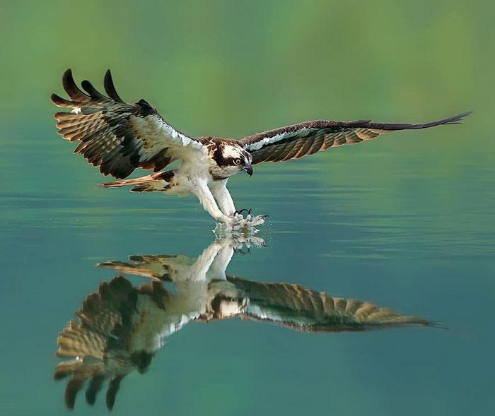 osprey hunt dive photos chen chengguang 6 5e0ef14320ed4  700 - Fotógrafo de Taiwan tira fotos artísticas de pássaros de caça e o resultado é lindo