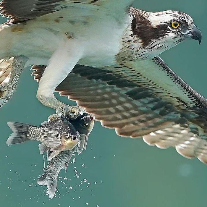 osprey hunt dive photos chen chengguang 8 5e0ef1477929a  700 - Fotógrafo de Taiwan tira fotos artísticas de pássaros de caça e o resultado é lindo