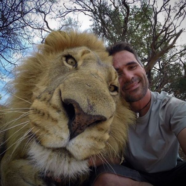 Lion's Head Compared To Man's Head. Absolute Unit