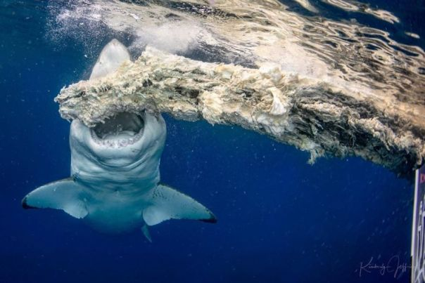 Behaviour Category: 'Great White Bite' By Kimberly Jeffries, USA