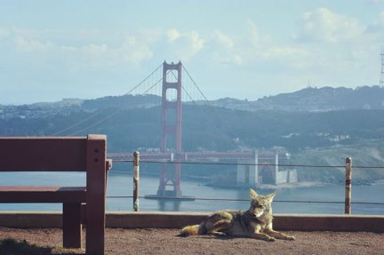 A Photo Of A Coyote In San Francisco Taken With A Zoom Lens From Inside The Photographer's Car