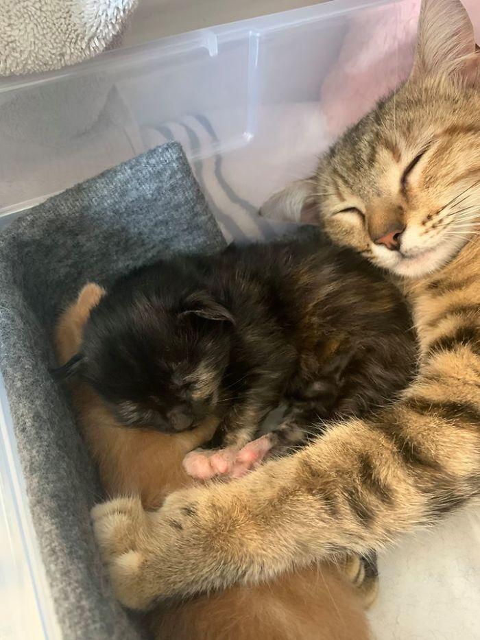 Couple Take The Supposedly Male Cat Who Has Been Visiting Them To The Vet, Find Out It's Pregnant And Due Any Day