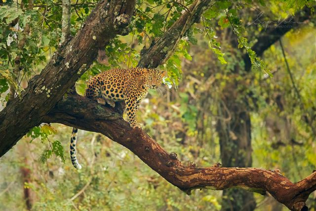 Leopardo indio
