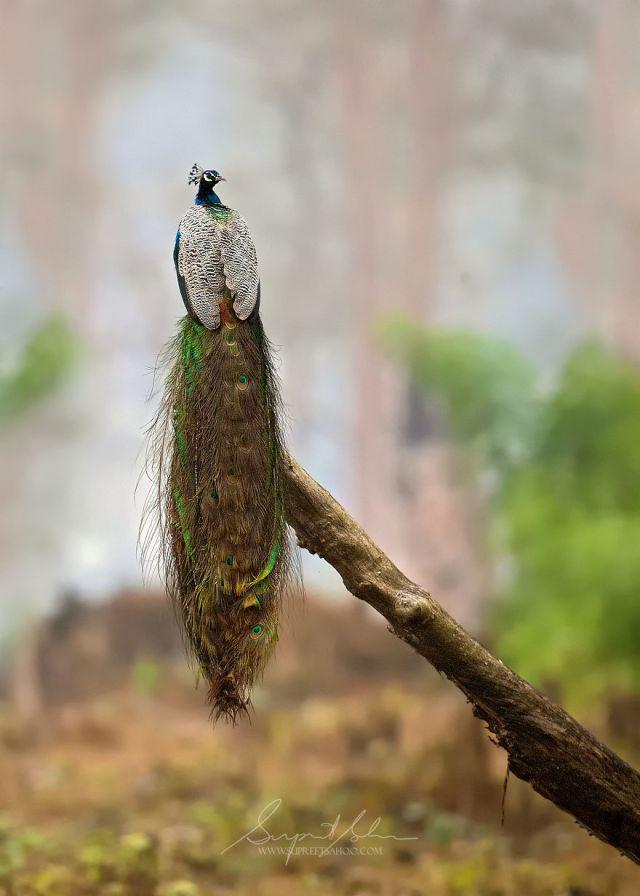 Pavo real indio (ave nacional de la India)