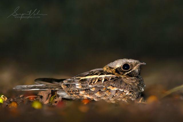Nightjar indio