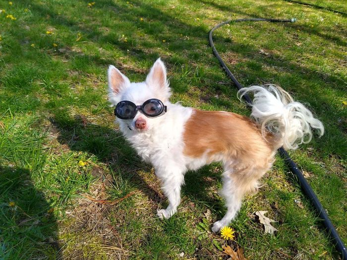 """My 15 Year Old Chihuahua Has Very Sensitive Eyes Due To Iris Atrophy. Here She Is In Her """"Doggles."""" I Smile At This Photo On An Hourly Basis. Hope It Has The Same Effect For Others."""