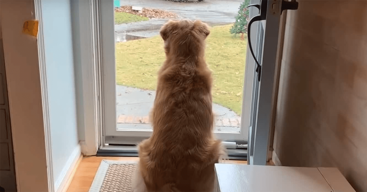 This Golden Retriever Fell In Love With The Local Mailmen, So Her Owner Started Documenting Their Daily Routine