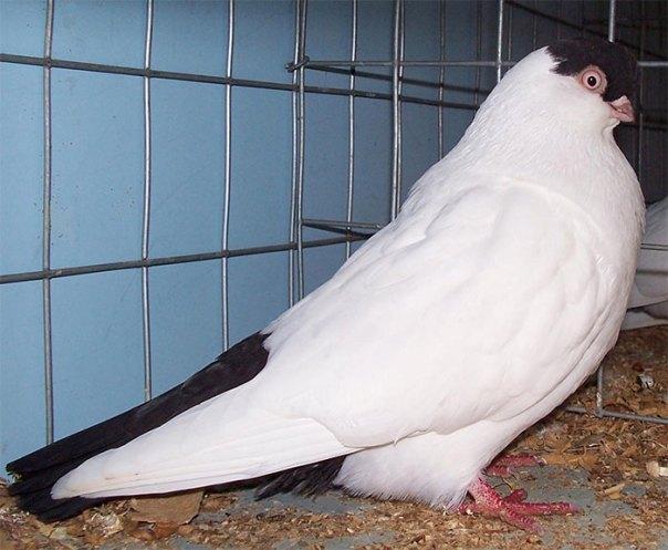 Black Helmet Pigeon
