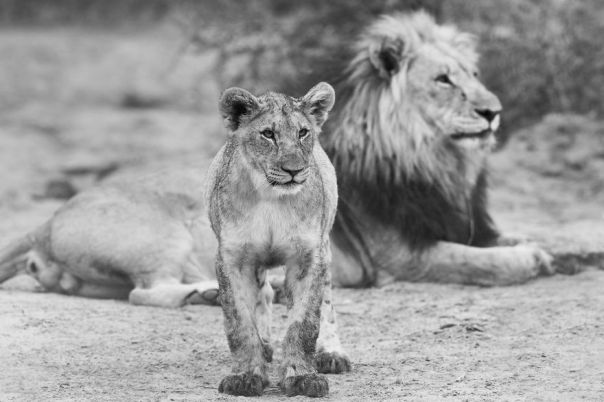 Lion And Cub, Father And Son