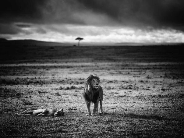Duke And Duchess, Masai Mara, Kenya