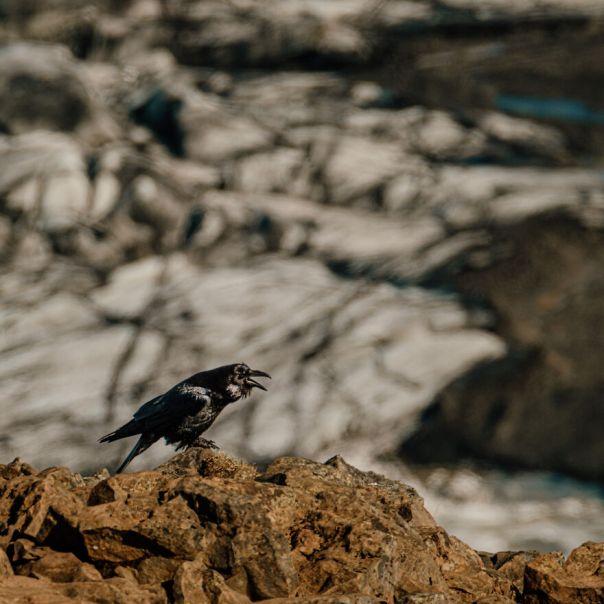 Raven At Skaftafellsjokull